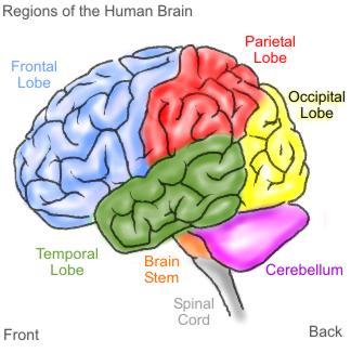 brain_witelson